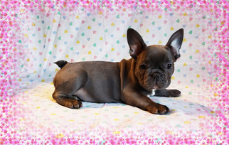 FrenchieZ PuP