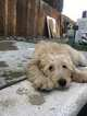 Goldendoodle Puppy For Sale in CHINO, CA, USA