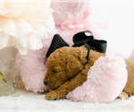 Small #8 Goldendoodle (Miniature)