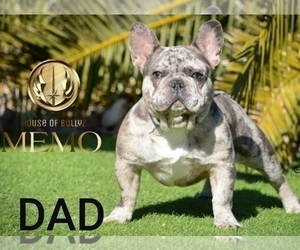 Father of the French Bulldog puppies born on 12/27/2020