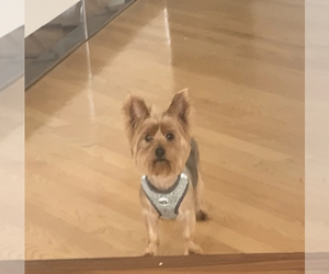 Yorkshire Terrier Puppy for sale in AVENTURA, FL, USA