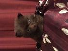 Chiranian Puppy For Sale in BOGALUSA, LA, USA