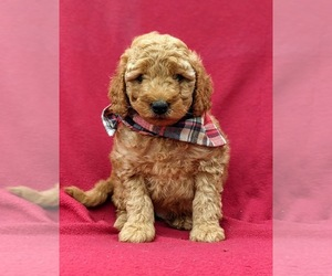 Goldendoodle-Poodle (Miniature) Mix Dog for Adoption in LINCOLN UNIV, Pennsylvania USA