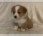 Puppy 3 Aussie-Corgi