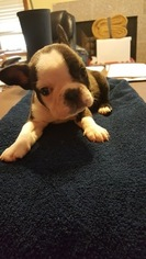 French Bulldog Puppy for sale in PHOENIX, AZ, USA