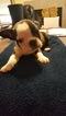French Bulldog Puppy For Sale in PHOENIX, AZ