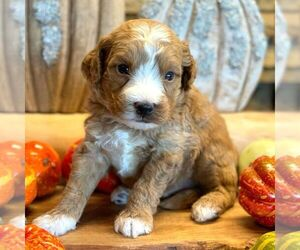 Goldendoodle-Poodle (Miniature) Mix Puppy for sale in OTTAWA, KS, USA