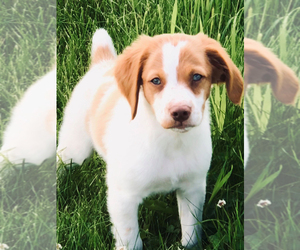 Brittany Puppy for Sale in CONDON, Montana USA