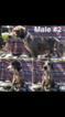 Great Dane Puppy For Sale in FONTANA, CA
