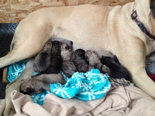 Mastiff Puppy For Sale in MARION, IN