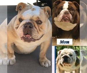 Mother of the English Bulldog puppies born on 11/17/2020