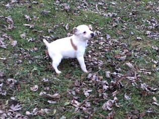 Jack Russell Terrier Puppy for sale in GREEN OAKS, IL, USA