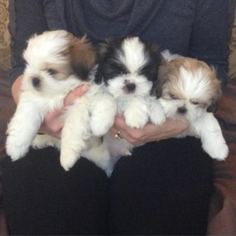 Shih Tzu Puppy For Sale in SAINT PAUL, MN, USA