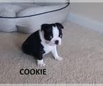 Puppy 2 Boston Terrier