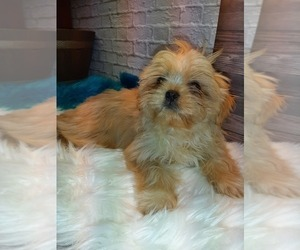 Shinese Puppy for Sale in CARTHAGE, Texas USA