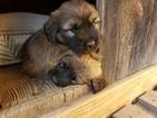 Small #9 Catalan Sheepdog