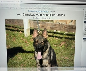 Father of the German Shepherd Dog puppies born on 04/02/2021