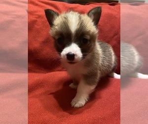 Pembroke Welsh Corgi Puppy for sale in BRANDON, MS, USA