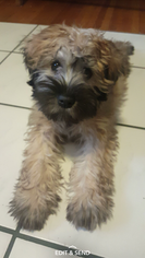 Soft Coated Wheaten Terrier Puppy for sale in DELTONA, FL, USA