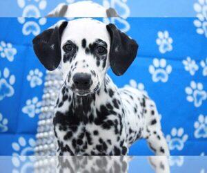 Dalmatian Puppy for sale in MARIETTA, GA, USA