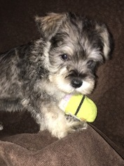 Schnauzer (Miniature) Puppy for sale in CALHAN, CO, USA