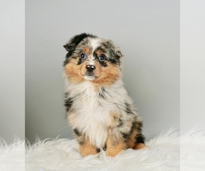Australian Shepherd Puppy for Sale in WARSAW, Indiana USA