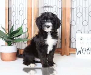 Sheepadoodle Dog for Adoption in NAPLES, Florida USA