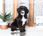Sheepadoodle Puppy For Sale in NAPLES, FL, USA