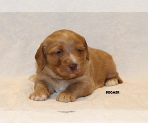 Labradoodle Puppy for sale in COCHRANTON, PA, USA