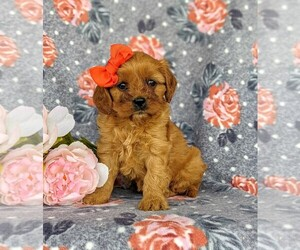 Cavapoo Puppy for sale in CHRISTIANA, PA, USA