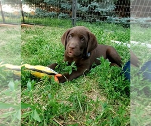 Labrador Retriever Puppy for Sale in FLAGLER, Colorado USA