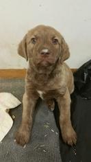 Chesapeake Bay Retriever Puppy for sale in BAILEY, CO, USA