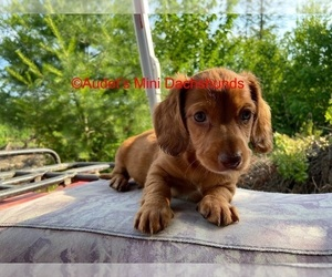 Dachshund Puppy for sale in SOUTH NEWFANE, VT, USA