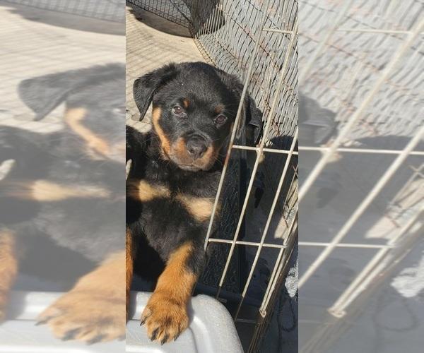 Medium Photo #2 Rottweiler Puppy For Sale in FRESNO, CA, USA