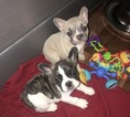 French Bulldog Puppy For Sale in FAIRFIELD, CA, USA
