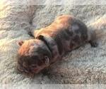 Small #24 French Bulldog