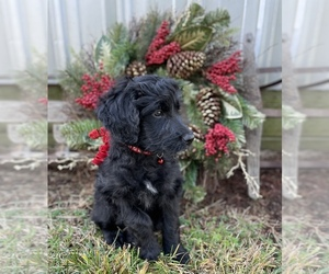 Aussiedoodle Puppy for sale in VIRGINIA, IL, USA