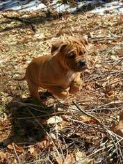 English Bulldogge Puppy For Sale in WINSTED, CT