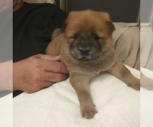 Chow Chow Puppy for sale in OKC, OK, USA