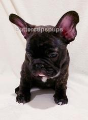 French Bulldog Puppy For Sale in SAN DIEGO, CA, USA