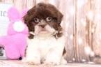 Gus Cutest Male ShihTzu Puppy