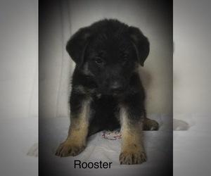 German Shepherd Dog Puppy for Sale in PENROSE, Colorado USA