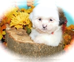 Small #3 Shih Tzu-Shih-Poo Mix