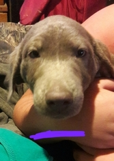 Labrador Retriever Puppy for sale in FERRIS, TX, USA