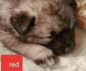 Keeshond Puppy for sale in HEBRON, IN, USA