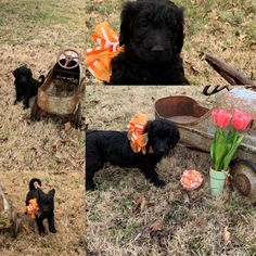 Goldendoodle-Poodle (Standard) Mix Puppy For Sale in PINEVILLE, AR, USA
