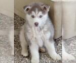 Small #5 Siberian Husky