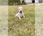 Small #10 Dogo Argentino