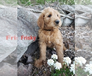 Labradoodle Puppy for Sale in NARVON, Pennsylvania USA