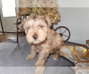 Schnoodle (Miniature) Puppy for sale in INDIANAPOLIS, IN, USA